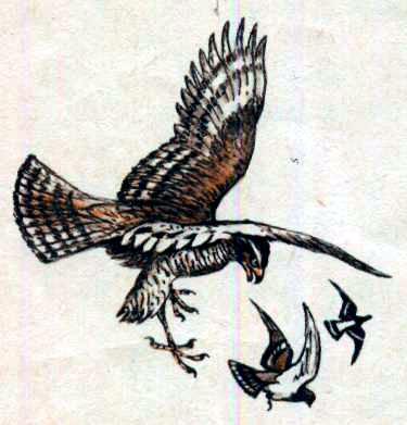 Ястреб и голуби