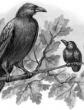 Галка и вороны