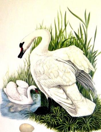 Лебеди, Рассказ