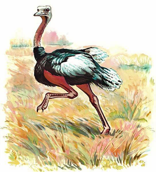 страус страусенок