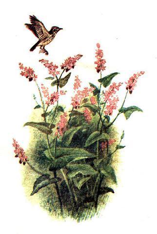 А там, где упало малое зёрнышко, зазеленело не виданное доселе растение, и развело оно по всей стране цветистую душистую гречу