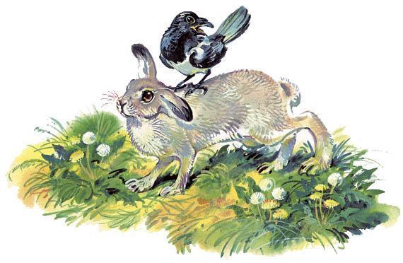 сорока сидит на спине зайца