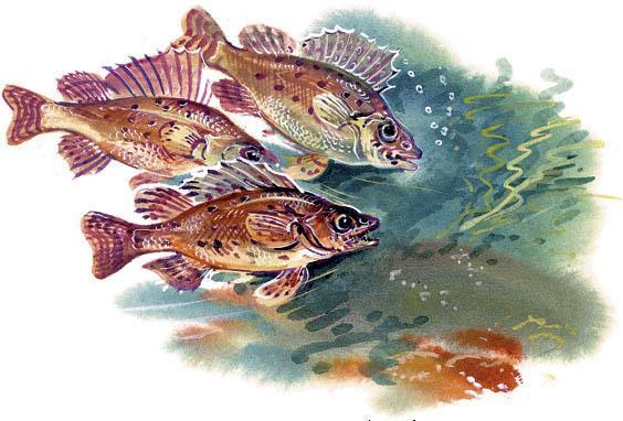 ерши - рыбы под водой