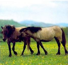 Коннемара-пони относятся к числу самых любимых детьми, да и взрослыми, лошадок.