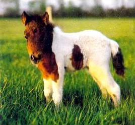 Жеребенок шетландского пони. Лошадки этой породы низкорослы, но исключительно выносливы.