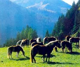 Графлинги широко используются как упряжно-верховые в горных местностях.