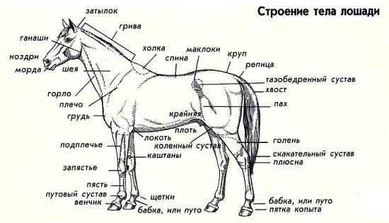 Осел и зебра относятся к семейству лошадиных. Если их случать, они могут давать потомство. Мул происходит от осла и кобылы.