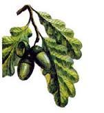 дубовый лист и желуди