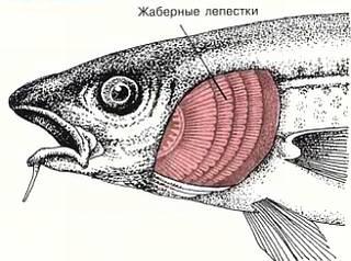 Наземные животные дышат кислородом воздуха с помощью легких, а рыбы — кислородом, растворенным в воде, с помощью жабр