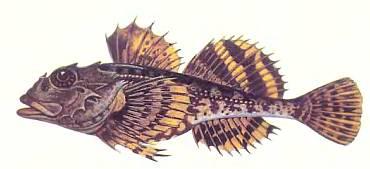 эту рыбку, которую местные жители называют морским чертом