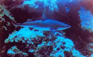 Синяя акула достигает в длину 6,5 м.