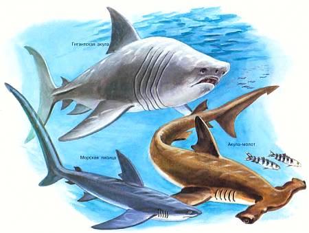 14-метровая гигантская акула — одно из крупнейших позвоночных животных.