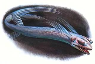 У рыб семейства гигантуровых телескопические глаза расположены на стебельках.