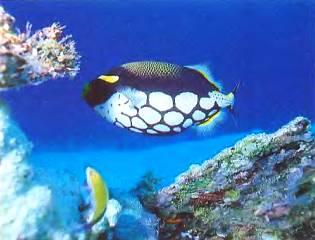 Своими мощными зубами спинорог может запросто раздробить раковину моллюска.