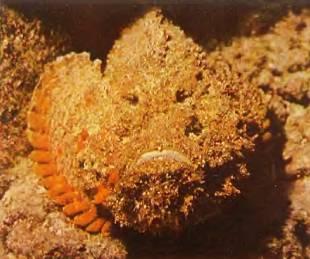 На дне рифового мелководья лежит бородавчатка. Если человек наступит на ее ядовитые колючки, то через два часа он может умереть.