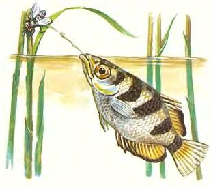 Брызгун стреляет по сидящему над водой насекомому каплями воды, выдавливая их из трубки, образующейся между языком и нёбом.