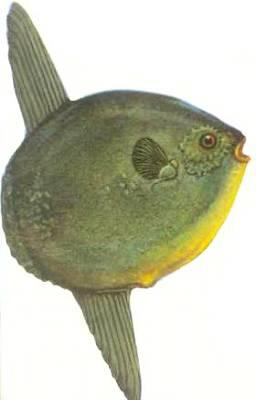 Луна-рыба обитает во всех морях и достигает в длину 3 м. Самка луны-рыбы самая плодовитая: она откладывает до 300 млн. икринок.