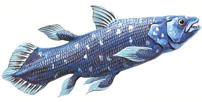 Полутораметровую кистеперую рыбу латимерию ученые в шутку называют живым ископаемым