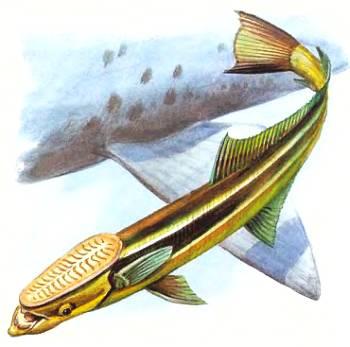 Прилипала ремора предпочитает ездить на акулах