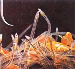 Когда личинки угрей — лептоцефалы в возрасте 2,5–3 лет достигают берегов Европы, они превращаются в стеклянных угрей.