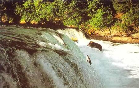 Преодолевая небольшие водопады, лососи могут совершать прыжки длиной 5 м и высотой 3 м. На пути к нерестилищу они проплывают за сутки 45 км.