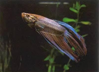 Самцы бойцовой рыбки надо держать в аквариуме по одному, так как они будут драться не на жизнь, а на смерть.